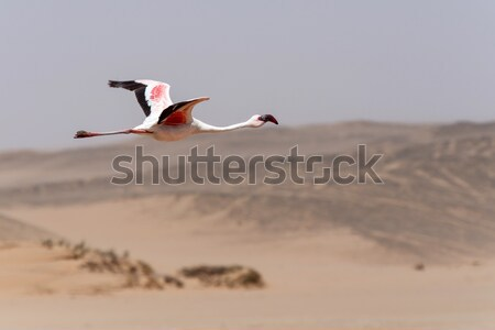 Flamingo Flying - Namibia Stock photo © imagex