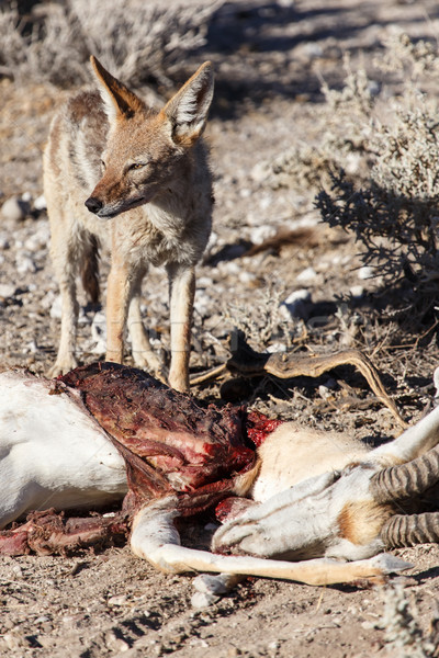 Jackal Eating Springbok - Etosha Safari Park in Namibia Stock photo © imagex