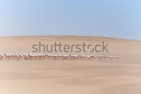Flamingó Namíbia madár család sivatag fehér Stock fotó © imagex