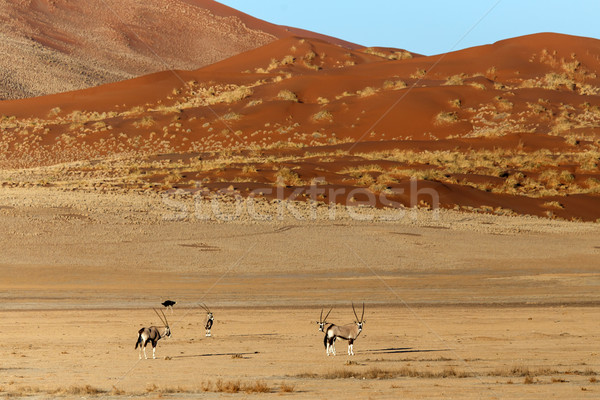 Oryx in Sossusvlei, Namibia Stock photo © imagex