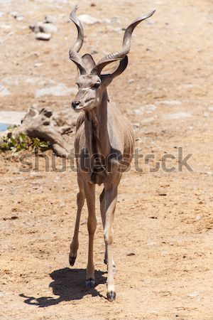 Kudu - Etosha Safari Park in Namibia Stock photo © imagex