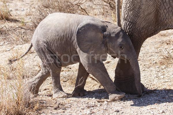 Young Elephant - Etosha Safari Park in Namibia Stock photo © imagex