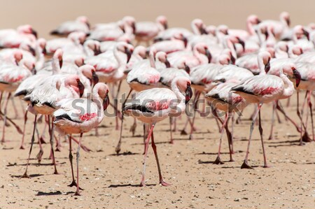 фламинго Намибия птица семьи белый животного Сток-фото © imagex