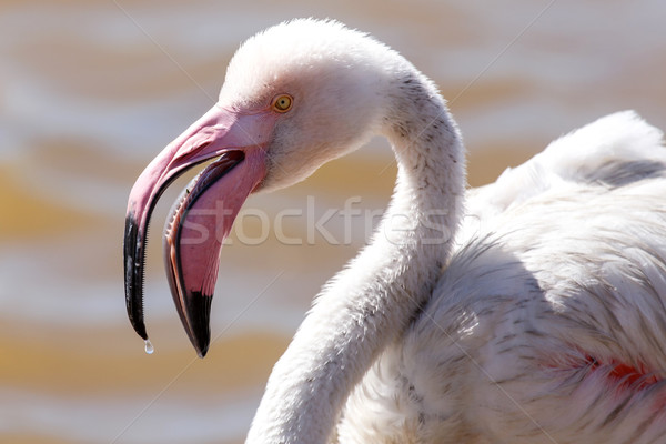 фламинго Намибия птица воды океана белый Сток-фото © imagex