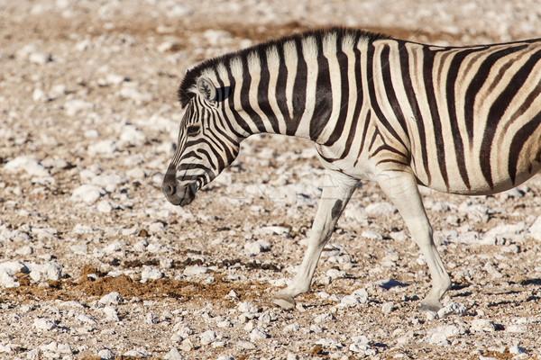 зебры Намибия парка Африка природы Сток-фото © imagex