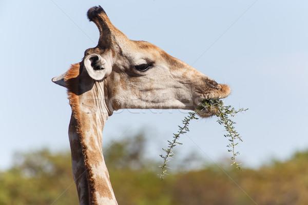 Zürafa safari park Namibya doğa yaprak Stok fotoğraf © imagex