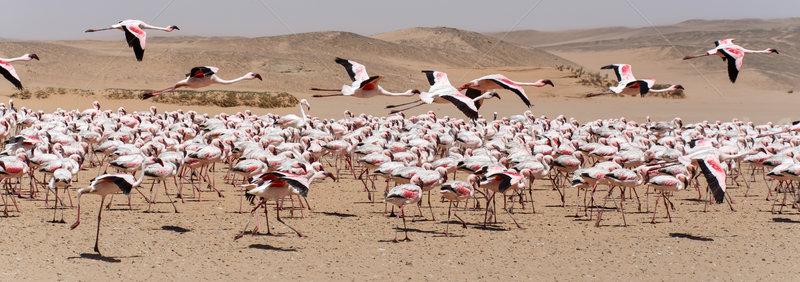 Flamingo uçan Namibya kuş uçuş çöl Stok fotoğraf © imagex