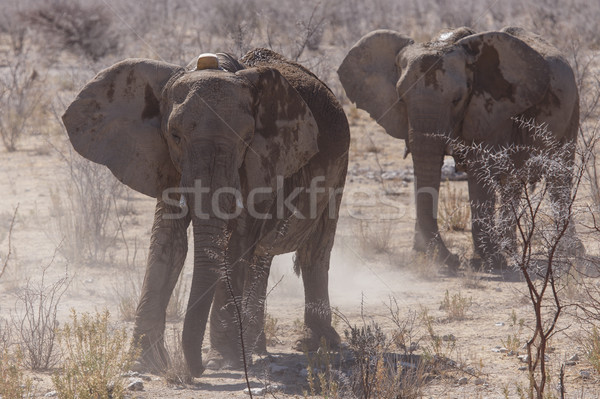 Tagged Elephant - Etosha Safari Park in Namibia Stock photo © imagex