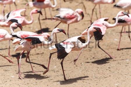 Flamingo Flying - Namibia Stock photo © imagex