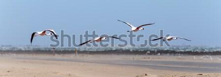 Flamingo Namibya kuş aile çöl beyaz Stok fotoğraf © imagex