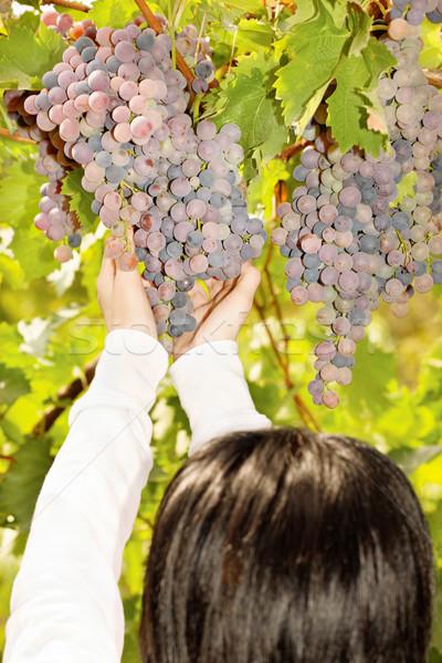 grape in a vineyard Stock photo © imarin