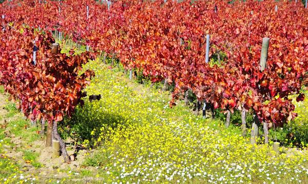 秋 畑 ポルトガル ワイン 自然 葉 ストックフォト © inaquim