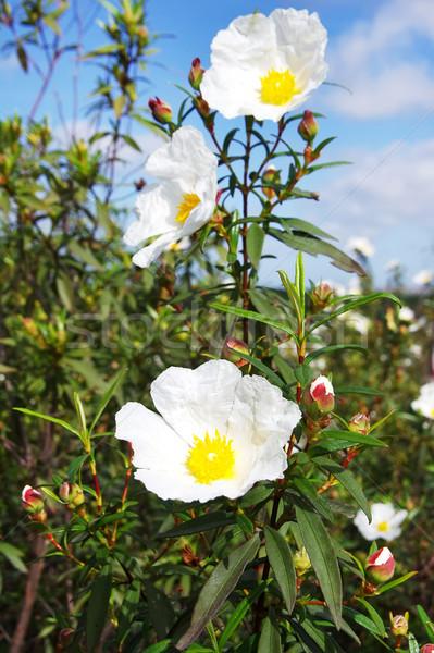 Vad virágok íny virág fehér bokor virág Stock fotó © inaquim
