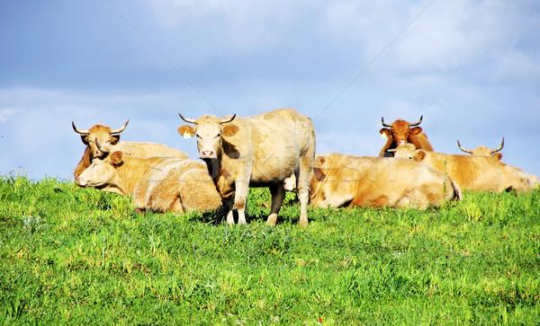 牛 緑 フィールド ポルトガル 空 草 ストックフォト © inaquim