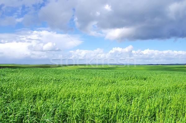 Zdjęcia stock: Krajobraz · pszenicy · zielone · dziedzinie · wiosną · trawy