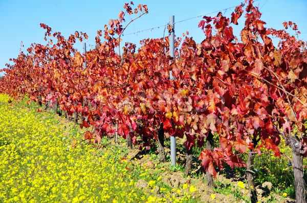 Autumn vineyard at south of  Portugal Stock photo © inaquim