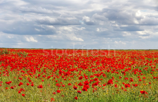 field of red poppies and the cloud sky Stock photo © inaquim