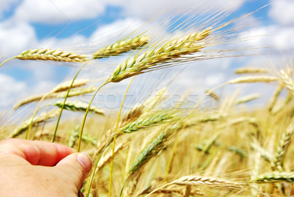 Hand with spike of wheat Stock photo © inaquim