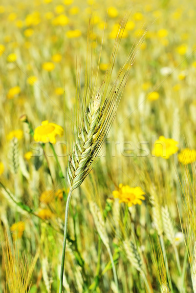 Spike in yellow field. Stock photo © inaquim