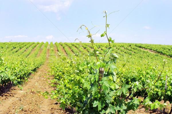 畑 ポルトガル 雲 食品 草 ワイン ストックフォト © inaquim