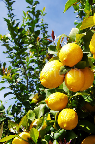 Bunch of ripe lemons on tree Stock photo © inaquim