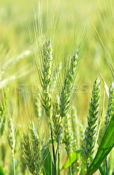 Green wheat spikes. Stock photo © inaquim