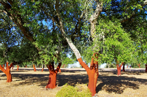 Cork Trees Stripped  Stock photo © inaquim
