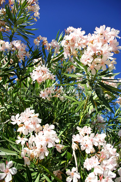 Flor blanca agua hierba resumen naturaleza Foto stock © inaquim