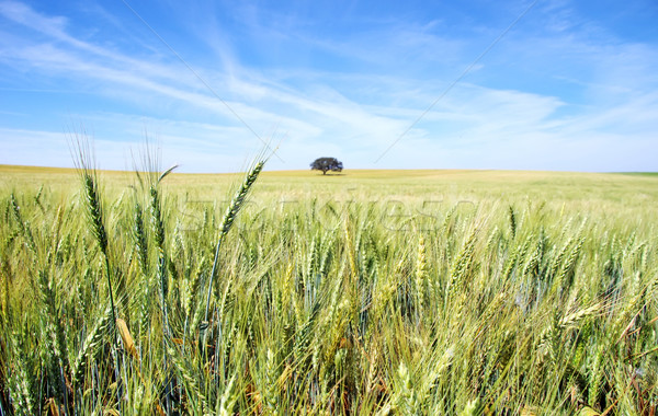 Spikes of wheat field at Portugal.  Stock photo © inaquim