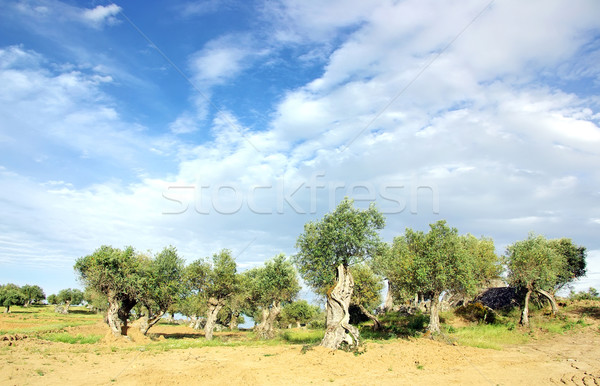 Old olive grove at Portugal Stock photo © inaquim