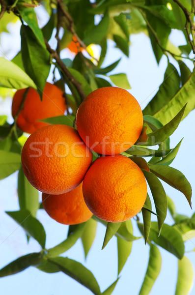 ripe oranges hanging on tree Stock photo © inaquim
