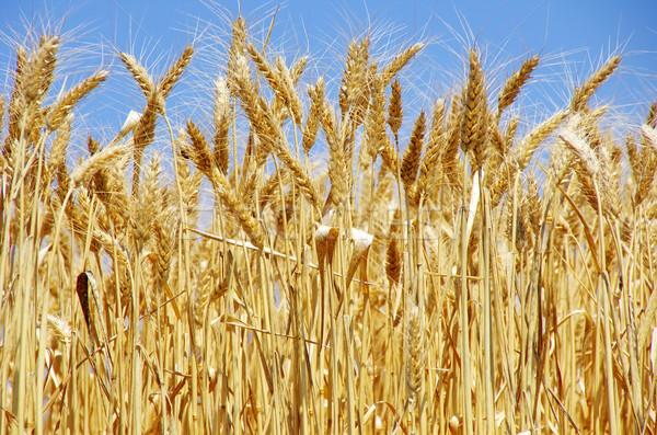Ripe spikes of wheat Stock photo © inaquim