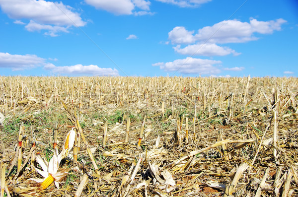 Stock photo: Stubble with corn cob on the ground