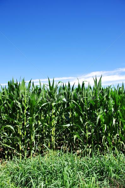 Zöld kukoricamező Portugália tavasz természet levél Stock fotó © inaquim