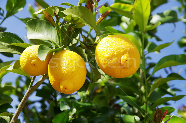 Lemon on the tree in Stock photo © inaquim