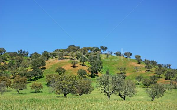 Trees at portuguese field, alentejo region. Stock photo © inaquim