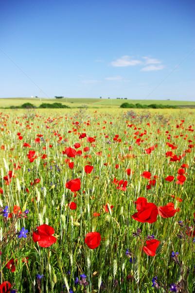 Campo de trigo céu grama jardim verão Foto stock © inaquim