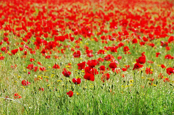red poppy field flower in nature background Stock photo © inaquim