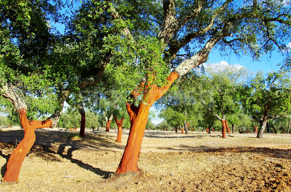 Cork Trees Stripped at Portugal Stock photo © inaquim
