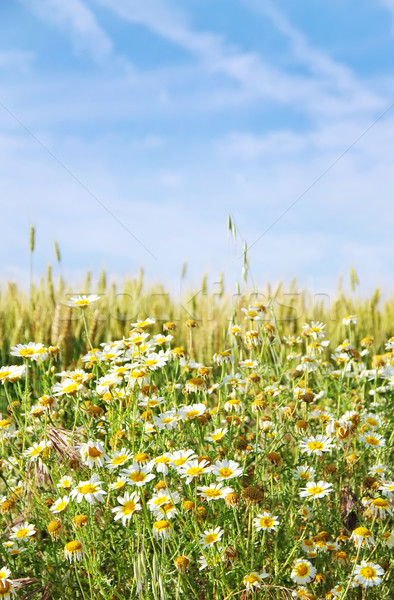 Selvatico camomilla fiori campo di grano sole campo Foto d'archivio © inaquim