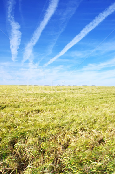 wheat field under a blue sky  Stock photo © inaquim
