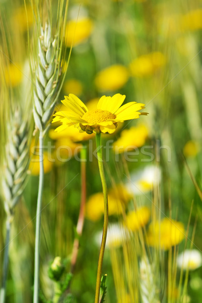 Yellow flower and spike. Stock photo © inaquim