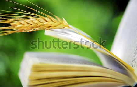 wheat spike on open book Stock photo © inaquim