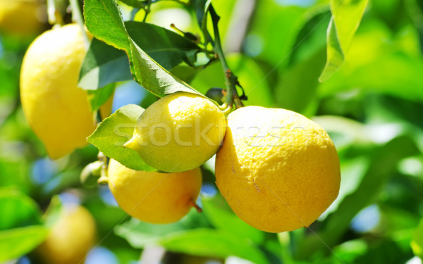Maduro limões enforcamento árvore comida fruto Foto stock © inaquim