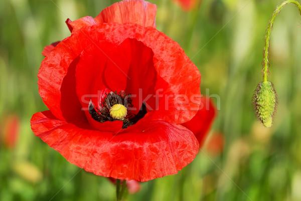 クローズアップ ケシ 緑 フィールド 花 ストックフォト © inaquim