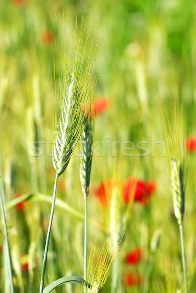 Spikes in green field. Stock photo © inaquim