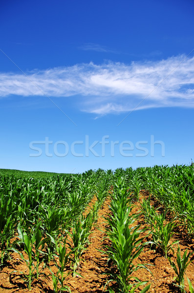 Green cornfield at south of Portugal Stock photo © inaquim