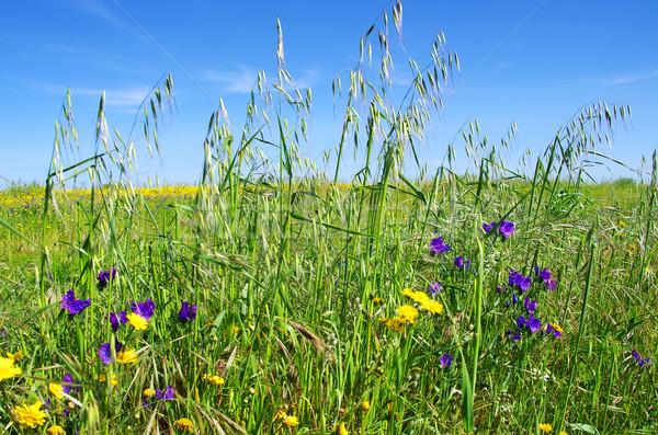 Cereal campo céu flor primavera Foto stock © inaquim