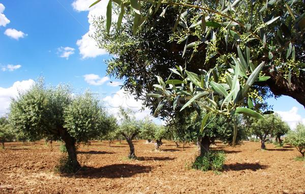 Olives tree blossom in alentejo field, Portugal Stock photo © inaquim