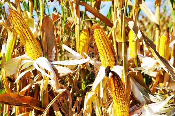 Foto stock: Amarelo · milho · outono · folha · verão · campo